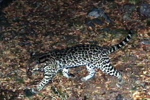 Ocelot Captured by Automatic Wildlife Camera in the Santa Rita Mountains on May 14, 2014